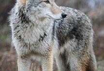 Coyote Cheyenne brave tribe
