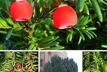 Taxaceae