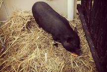 My piggy Sofia / Pictures of my pet pig Sofia