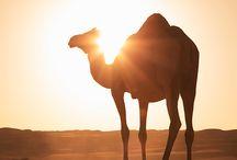 I Like Camel
