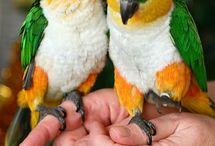 black head parrot