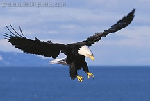 Predators of the sky……eagles, etc...