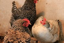 Chicken Farming! / Backyard chickens
