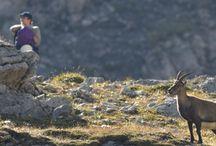 """Alpensteinbock in Bayern / Du hast beim Wandern einen Alpensteinbock gesehen? Melde ihn uns! Mit unserem neuen Citizen-Science-Projekt """"Alpensteinbock in Bayern"""" wollen wir das Bergtier näher erforschen."""