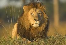 Oroszlán - Lion