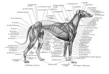Canine muscle studies
