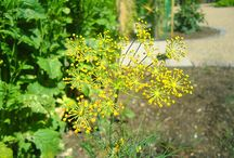Dill - Anethum graveolens / All things related to Dill