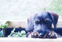 Dog / Teckel