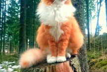 Norwegian Forest Cats!!