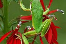 Frogs-žabky