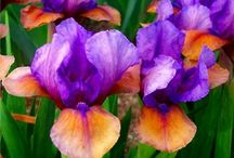 Bearded Iris / Bearded Iris are outstanding for their unusual color, design and sturdy, vigorous growth habit.