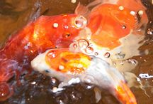 Koi, Carp and Betta / The elegance of Asian fish.  Also, my inner Pisces. / by Denise Greenberg