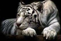 Tiger - Tora - Tigris / Tigrisek