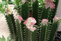 прививки кактусов.