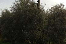L'Olivone di Fiabbianello ( 10 km)  (Semproniano) / Magnifico albero plurisecolare: ignoti vandali lo hanno incendiato, nel 1998. Ma lui ha vinto ed è vivo. Con un progetto dell'ITP Leopoldo di Lorena, di Grosseto, insieme ad alcuni nostri vicini, stiamo reimpiantando i Figli dell'Olivone per perpetuarne il genoma. Noi ne abbiamo 27.