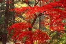 CHINESE MAPLE TREES