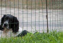 Springer Spaniel Inglese / Springer Spaniel Inglese...un grande cane da caccia