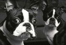 We Love Boston Terriers