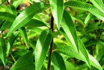 Plantes aromatiques et medicinales