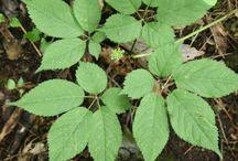 Cherokee Herbal with the UKU / Old school medicine herbalism