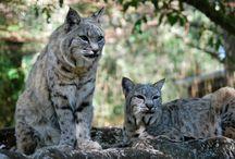 animal / wildcat and eurasian lynx