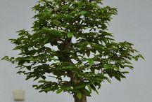 bonsai carpen