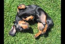 For the Love of Dachshunds / I have four doxies, and I love the breed. I guess you could call me a doxie-moron, lol! / by Susi Unupi
