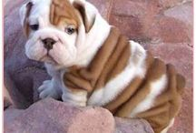 Bulldogs! / I have a slight obsession with bulldogs... / by Michelle O'Toole
