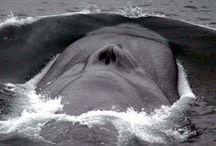 Blue Whale Photographs