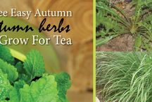 Three Easy Autumn Herbs to Grow for Tea