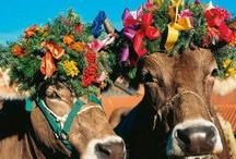Коровы / cows - они чудо!!!!