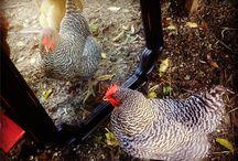 My Chickens / by Jennifer Blake