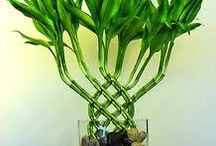 twisted bamboo plant