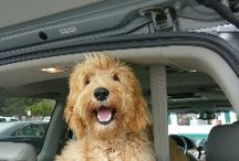 Doodle Love / Pics of our sweet girl Ginger + other doodles