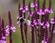 PLANTS_Long Flowering Perennials /  Long flowering perennials