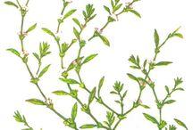 Poligonaceae