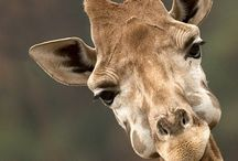 giraffe - whats not to love / by Tamara Sauer