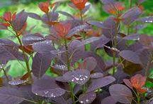 YARRAVILLE - Plants