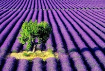 Lavender, garden / Lavender photos, projects, DIY crafts, tutorials.