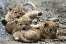 cuccioli di leone.