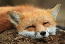 Experience fox paradise at Zao Fox Village!