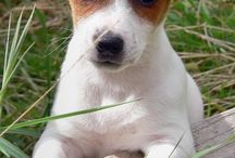 jack russell terrier / Beautiful doggy jack russell terrier