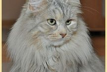 syberyjskie koty