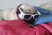 Pug Mopi♥ / My dog is my sweetheart ♥ Here I give his cute pictures ♥ Victoria