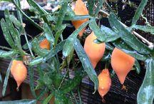 Caudiciformis / Plantas con caudex / by R MD