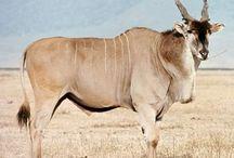 Biodiversity + antelope