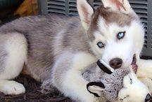 Husky :)