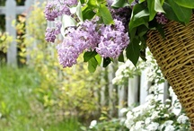 Lovely Lilacs / by Leslie Young