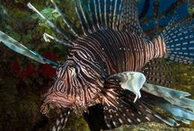 Lionfish -- St. Croix, US Virgin Islands / Lionfish are beautiful, but a foreign/invasive species first sighted in St. Croix in 2009.  We enjoy photographing these fish before removing them from the reef.  They eat half their body-weight in little fish every day.   https://en.wikipedia.org/wiki/Pterois