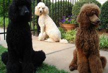 oodles of poodles / Yes, I have an obsession with poodles. / by Alexa Harvey